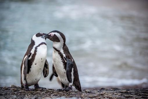 Гей-пара пінгвінів у зоопарку Берліна висиджує залишене яйце